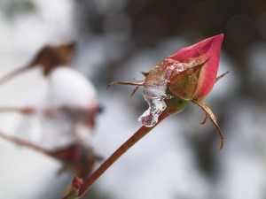 The frozen bud of rose